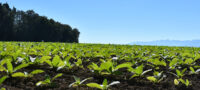 tobacco_farm_SLIDER(1)